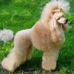 Собака - Маленький лев