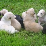 Активное развитие борзого щенка